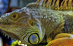 Iguana wallpapers