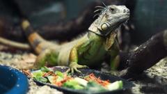 green reptiles iguana Wallpapers