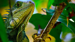 lizards image Iguana HD wallpapers and backgrounds photos