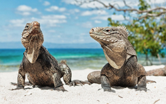 ocean landscapes animals lizards reptiles iguana Wallpapers