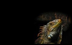 Animals Reptiles Iguana Wallpapers