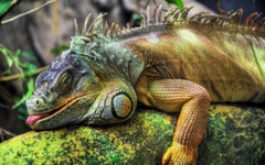 Superior Pictures 24 Iguana 100 Quality HD Wallpapers