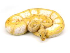 ball python banana spider