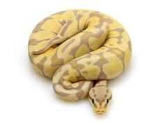 Banana Pastel Blade Markus Jayne Ball Pythons