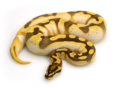Orange Dream Calico Enchi Fire
