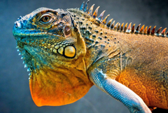 Lizard dragon iguana Android wallpapers for
