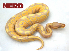Male Banana Mojave Poss Yellowbelly Ball Python