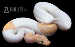 Banana Pied Ball Python by Bob Clark Reptiles
