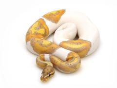 Banana Markus Jayne Ball Pythons