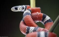 snake kingsnake reptile Wallpapers HD Desktop and Mobile