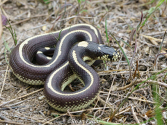 California Kingsnake 1