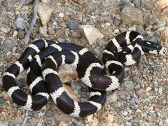 California Kingsnake Lampropeltis getula californiae