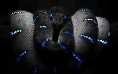 animals Snake Selective Coloring Boa Constrictor Wallpapers HD