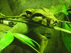 File Boa constrictor Singapore Zoo jpg