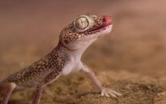 Gecko Reptile Lizards Belong To The Infraorder Gekkota With