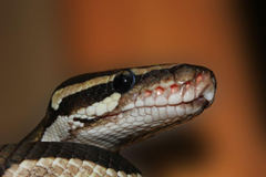 Boa Constrictor Wallpapers HD Android Apps on Google Play