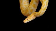 yellow and beige albino snake image