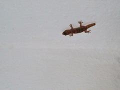 The World s newest photos of gekkota