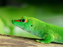 Gecko Wallpapers HD for Android