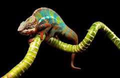 Wallpapers Reptiles Chameleon Branches Animals