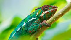Colorful Chameleon 4K UltraHD Wallpapers