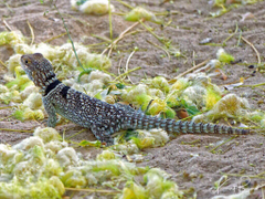 Unusual and Beautiful Geckos Swifts and Reptiles of