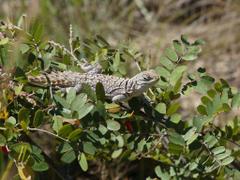 The World s Best Photos of lizard and madagascar