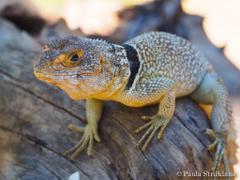 The World s Best Photos of lizard and oplurus