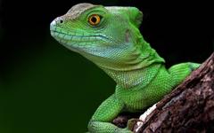 Head Green Lizard Wallpapers