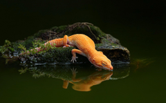 lizard Water Reflection Water Gecko Wallpapers HD Desktop and