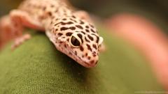 Inn Arts Photos for Leopard Gecko