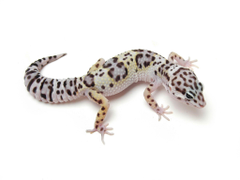 iguana Reptile Leaves Leopard Geckos Animals Wallpapers HD 950