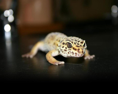 Leopard Gecko Wallpapers Wallimpex