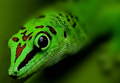 Selective focus of green leopard gecko HD wallpapers