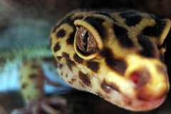 The Verge Review of Animals the leopard gecko