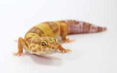 Albino Leopard Gecko fondos reptile wallpapers