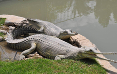 Animals Gharial Photos HD Wallpapers Animals And Birds