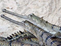 Gharial HD Wallpapers Image Backgrounds