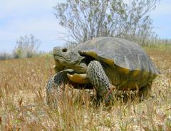Desert Tortoise Wallpapers