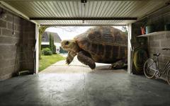Huge Tortoise Wallpapers