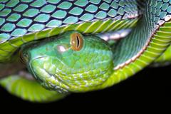 File Vogel s Pit Viper