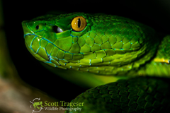 Vogel s Pit Viper Reptiles and Amphibians of Bangkok
