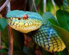Philippine Arboreal Viper