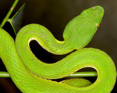 The World s most recently posted photos of red and trimeresurus