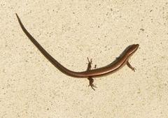 picture little brown skink ground skink scincella