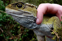 Tuatara HD Wallpapers