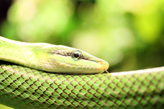 Smooth Green Snake Wallpapers