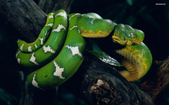 Snake Wallpapers Different Family Type Of Sna
