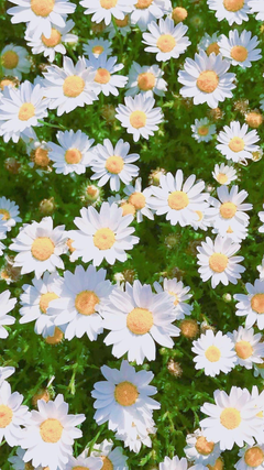 Daisy Aesthetic Wallpapers