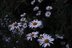 White daisy flower wallpapers wallpaperforu